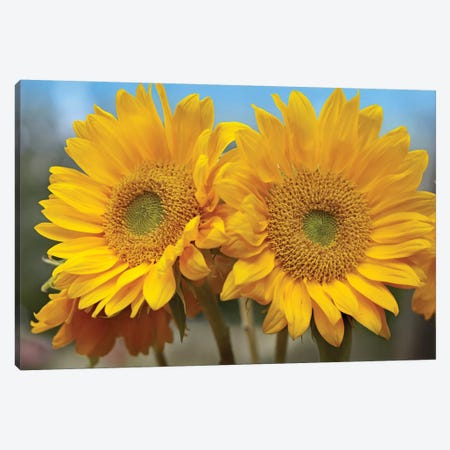 Common Sunflower Flowers, North America 3-Piece Canvas #TFI259} by Tim Fitzharris Art Print