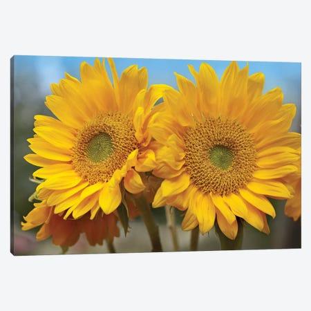 Common Sunflower Flowers, North America Canvas Print #TFI259} by Tim Fitzharris Art Print