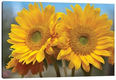 Common Sunflower Flowers, North America Canvas Art Print