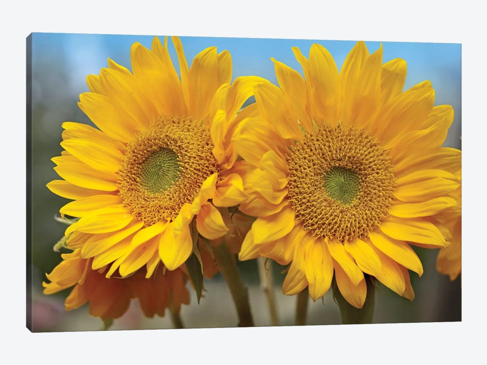 Common Sunflower Flowers, North America by Tim Fitzharris 1-piece Art Print
