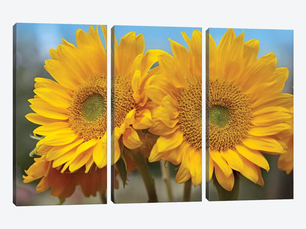Common Sunflower Flowers, North America by Tim Fitzharris 3-piece Canvas Art Print