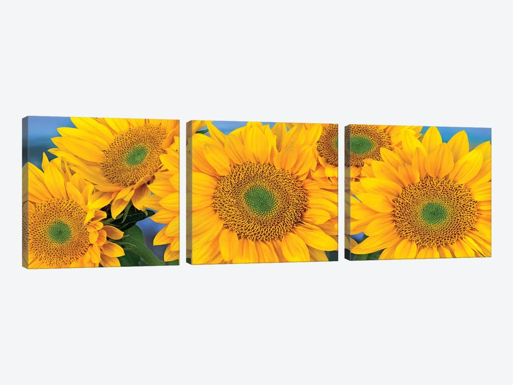 Common Sunflower Group Showing Symmetrical Seed Heads, North America I by Tim Fitzharris 3-piece Canvas Art Print