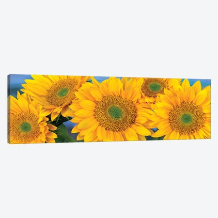 Common Sunflower Group Showing Symmetrical Seed Heads, North America I Canvas Print #TFI260} by Tim Fitzharris Canvas Artwork