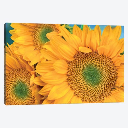 Common Sunflower Group Showing Symmetrical Seed Heads, North America II Canvas Print #TFI261} by Tim Fitzharris Canvas Wall Art