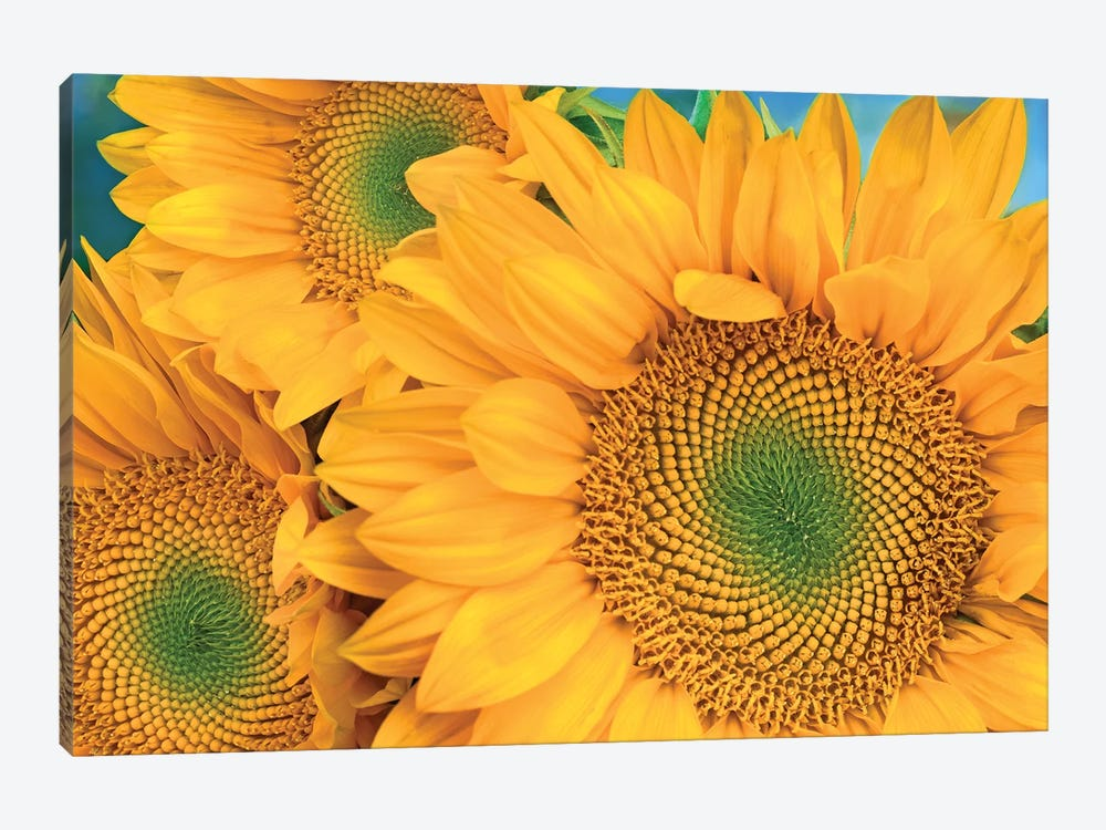 Common Sunflower Group Showing Symmetrical Seed Heads, North America II by Tim Fitzharris 1-piece Canvas Artwork