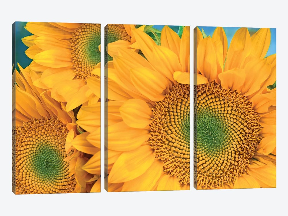 Common Sunflower Group Showing Symmetrical Seed Heads, North America II by Tim Fitzharris 3-piece Canvas Artwork