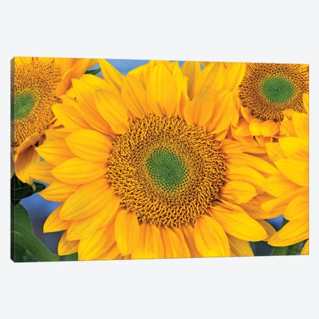 Common Sunflower Group Showing Symmetrical Seed Heads, North America III Canvas Print #TFI262} by Tim Fitzharris Canvas Artwork