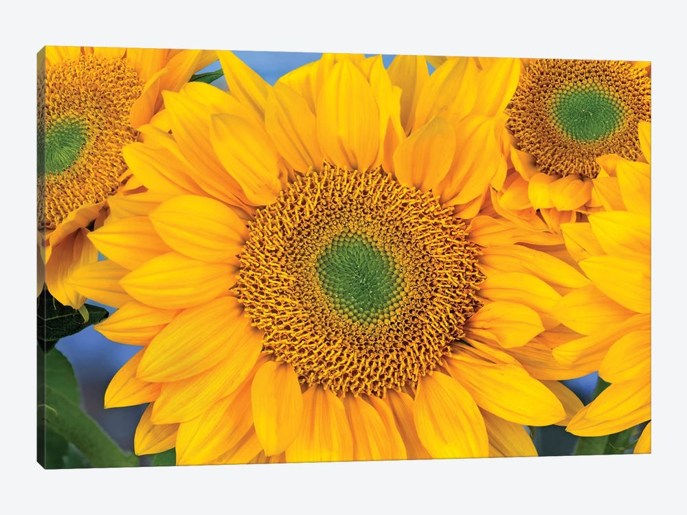 Common Sunflower Group Showing Symmetrical Seed Heads, North America III by Tim Fitzharris 1-piece Art Print