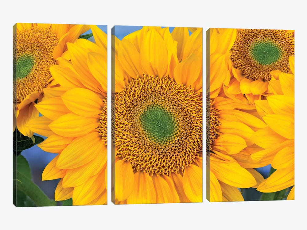 Common Sunflower Group Showing Symmetrical Seed Heads, North America III by Tim Fitzharris 3-piece Canvas Art Print