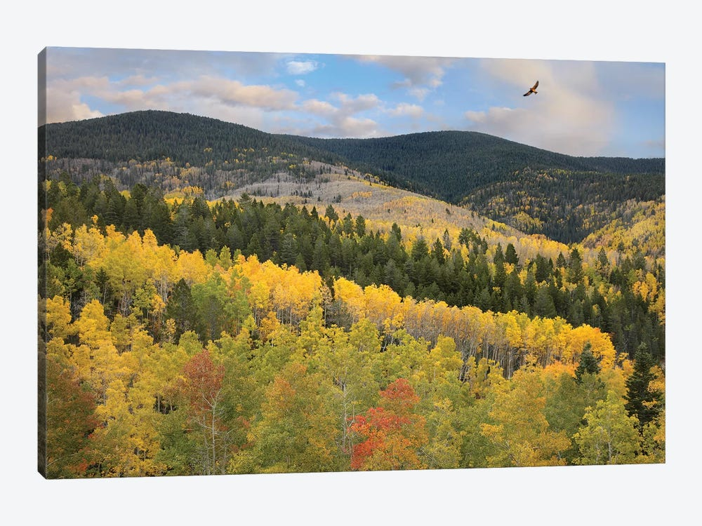 Cooper's Hawk Flying Over Quaking Aspen Forest, Santa Fe National Forest, Sangre De Cristo Mountains, New Mexico by Tim Fitzharris 1-piece Canvas Art
