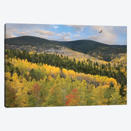 Cooper's Hawk Flying Over Quaking Aspen Forest, Santa Fe National Forest, Sangre De Cristo Mountains, New Mexico Canvas Print #TFI263} by Tim Fitzharris Canvas Wall Art