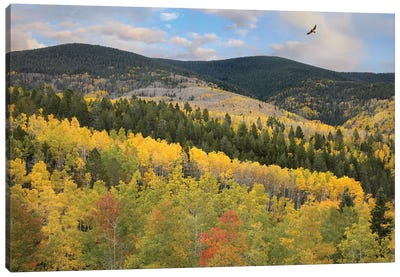 Cooper's Hawk Flying Over Quaking Aspen Forest, Santa Fe National Forest, Sangre De Cristo Mountains, New Mexico Canvas Art Print