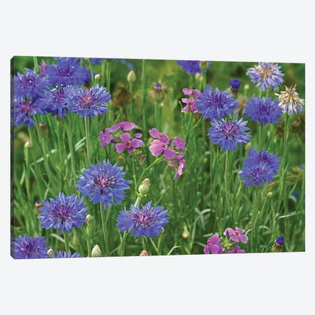 Cornflower And Pointed Phlox Blooming In Grassy Field, North America Canvas Print #TFI264} by Tim Fitzharris Art Print