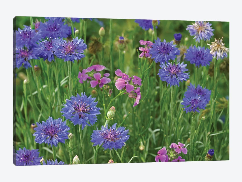 Cornflower And Pointed Phlox Blooming In Grassy Field, North America by Tim Fitzharris 1-piece Canvas Print