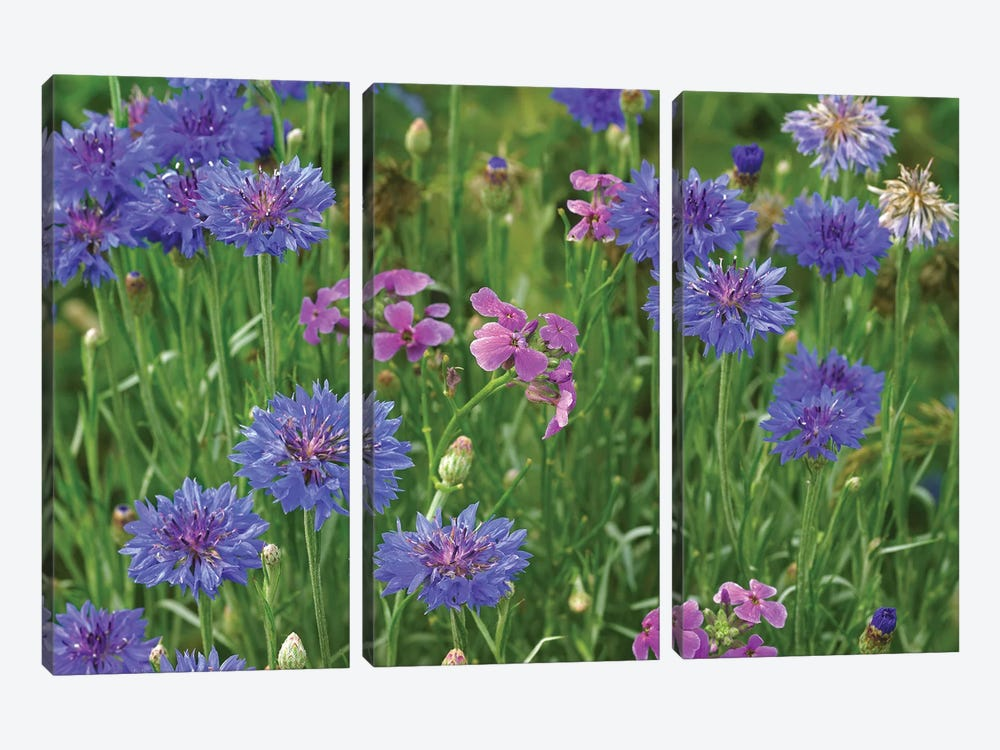 Cornflower And Pointed Phlox Blooming In Grassy Field, North America 3-piece Art Print