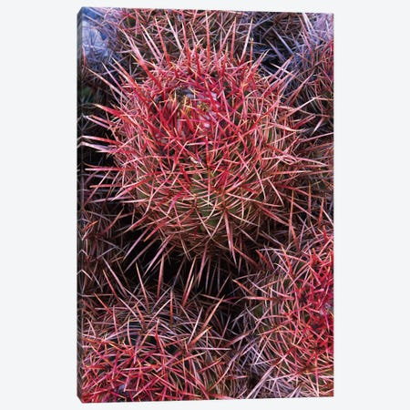 Cotton-Top Cactus Detail, Death Valley National Park, California Canvas Print #TFI265} by Tim Fitzharris Canvas Print