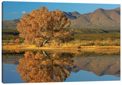 Cottonwood Fall Foliage With Magdalena Mountains Behind, New Mexico Canvas Art Print