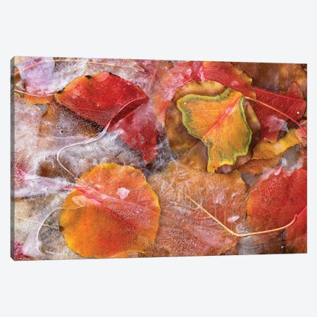 Cottonwood Frozen Leaves, North America I Canvas Print #TFI268} by Tim Fitzharris Canvas Artwork