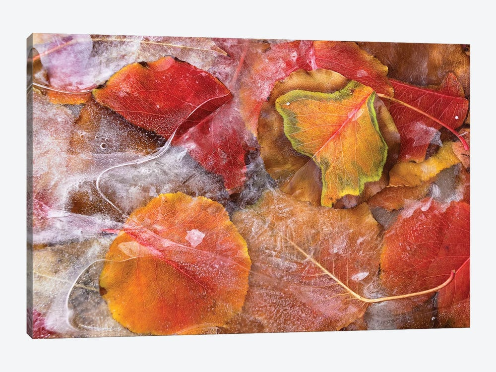 Cottonwood Frozen Leaves, North America I by Tim Fitzharris 1-piece Art Print