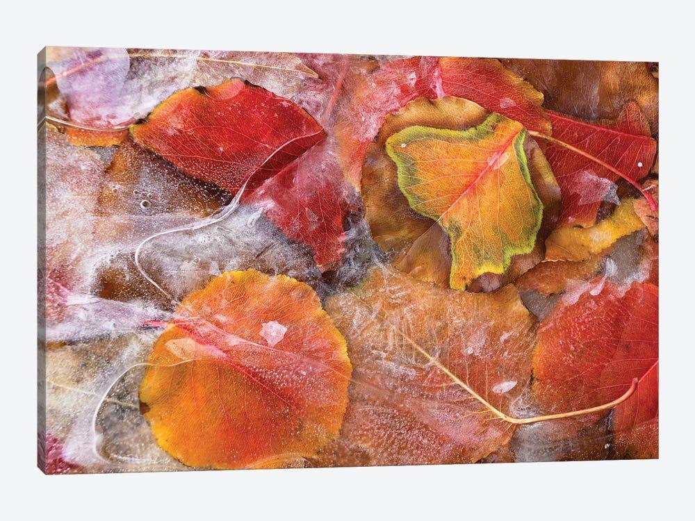 Cottonwood Frozen Leaves, North America I by Tim Fitzharris 1-piece Art Print