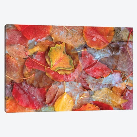 Cottonwood Frozen Leaves, North America II Canvas Print #TFI269} by Tim Fitzharris Canvas Wall Art