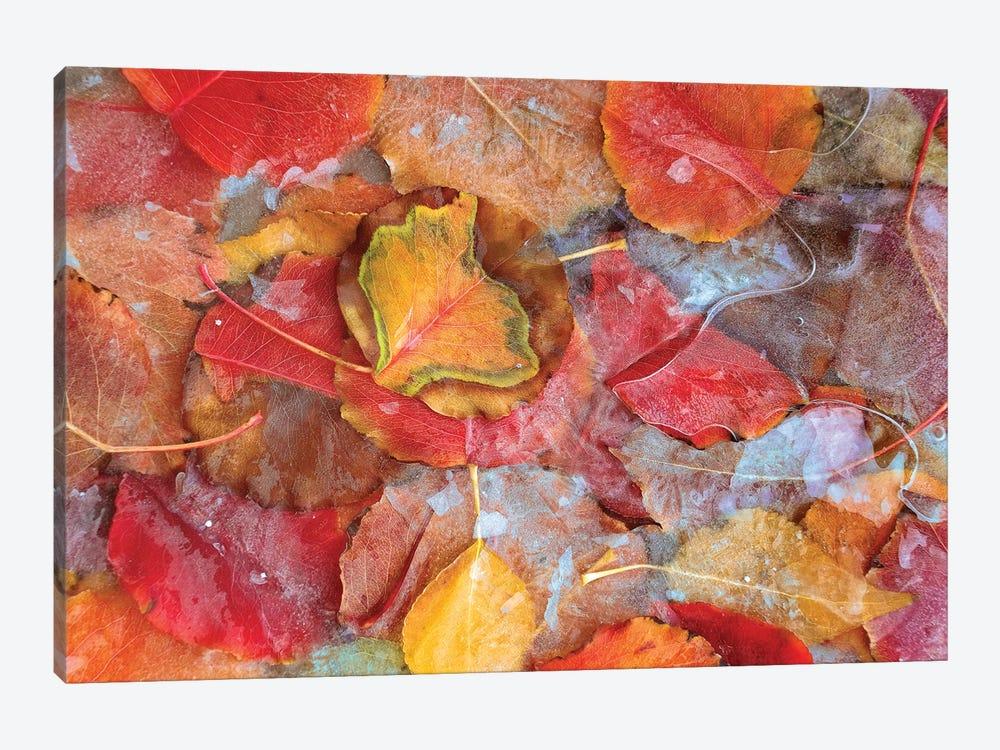 Cottonwood Frozen Leaves, North America II by Tim Fitzharris 1-piece Canvas Wall Art