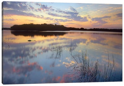 American Alligator Floating In Paurotis Pond, Everglades National Park, Florida Canvas Art Print