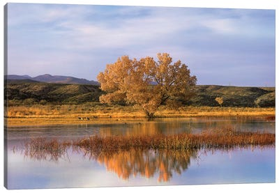 Cottonwood Tree And Sandhill Crane Flock In Pond, Bosque Del Apache National Wildlife Refuge, New Mexico Canvas Art Print