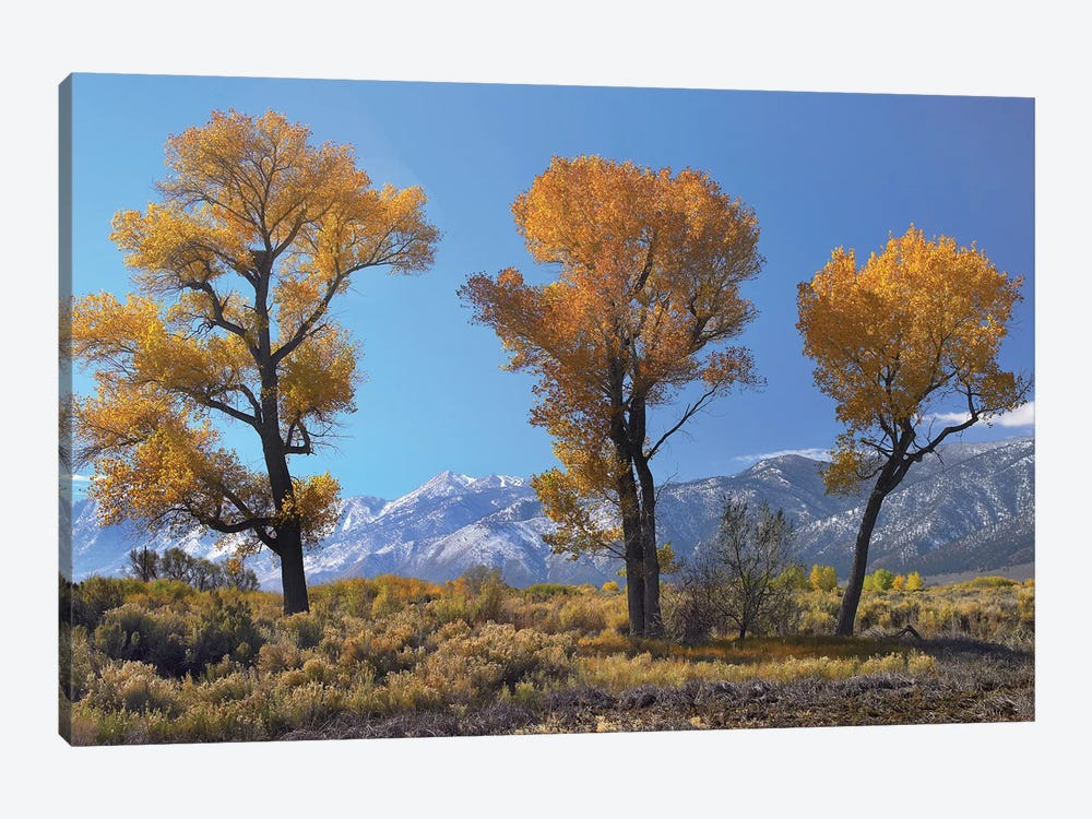 Cottonwood Trees, Fall Foliage, Carson Valley, Nevada I by Tim Fitzharris 1-piece Art Print