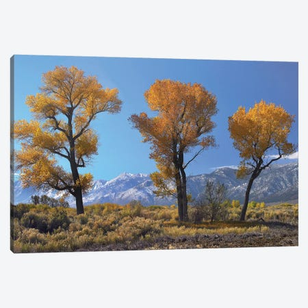 Cottonwood Trees, Fall Foliage, Carson Valley, Nevada I Canvas Print #TFI273} by Tim Fitzharris Canvas Art Print