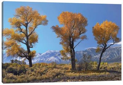 Cottonwood Trees, Fall Foliage, Carson Valley, Nevada I Canvas Art Print