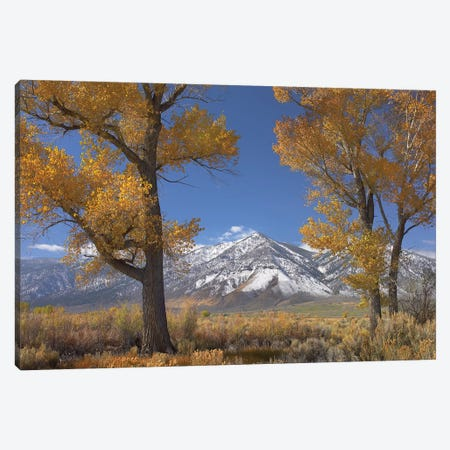 Cottonwood Trees, Fall Foliage, Carson Valley, Nevada II Canvas Print #TFI274} by Tim Fitzharris Canvas Art