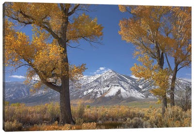 Cottonwood Trees, Fall Foliage, Carson Valley, Nevada II Canvas Art Print