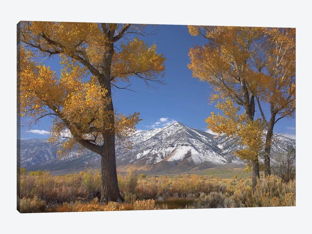 Cottonwood Trees, Fall Foliage, Carson Valley, Nevada II by Tim Fitzharris 1-piece Canvas Artwork