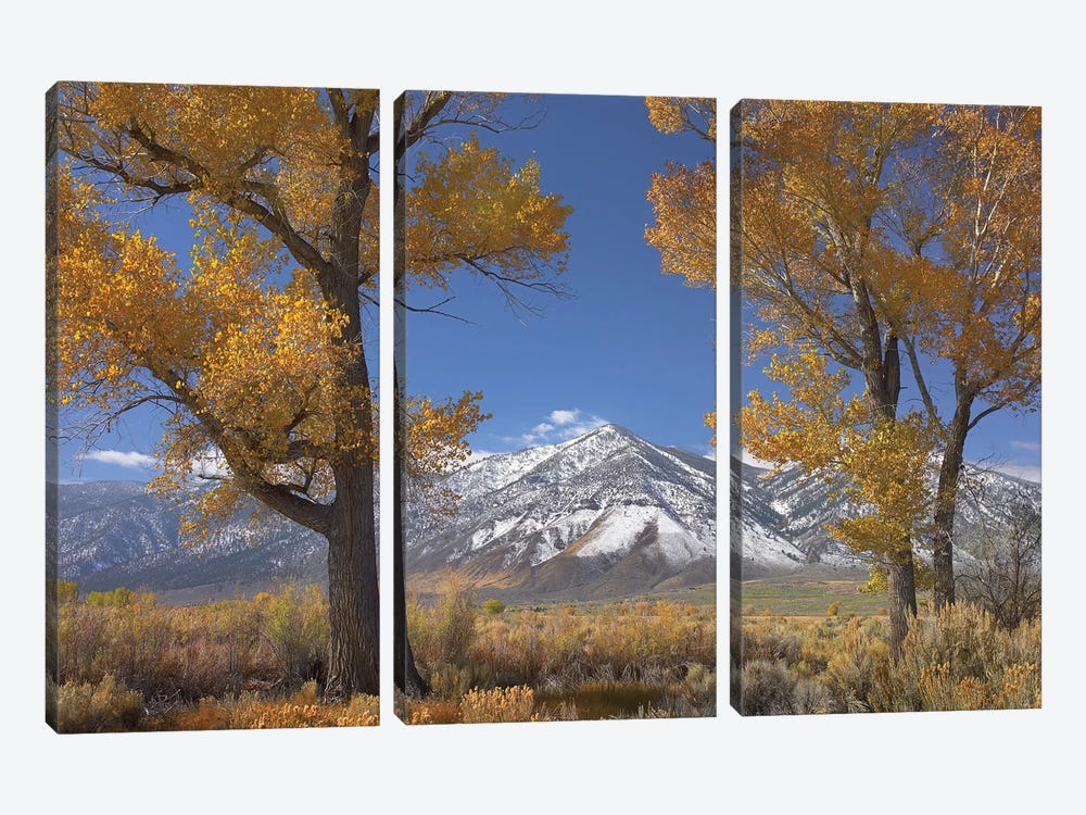 Cottonwood Trees, Fall Foliage, Carson Valley, Nevada II by Tim Fitzharris 3-piece Canvas Art