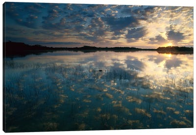 American Alligator In Nine-Mile Pond, Everglades National Park, Florida - Horizontal Canvas Art Print
