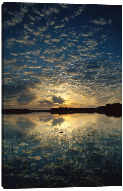 American Alligator In Nine-Mile Pond, Everglades National Park, Florida - Vertical Canvas Art Print