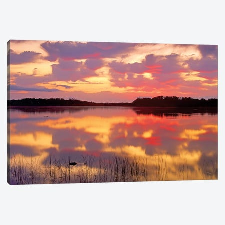 American Alligator Surfacing In Nine Mile Pond At Sunrise, Everglades National Park, Florida Canvas Print #TFI29} by Tim Fitzharris Canvas Artwork