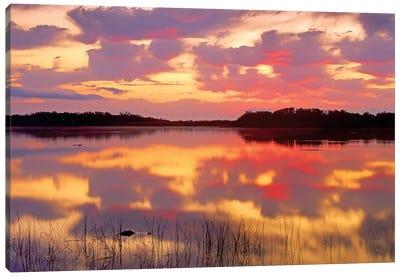 American Alligator Surfacing In Nine Mile Pond At Sunrise, Everglades National Park, Florida Canvas Art Print