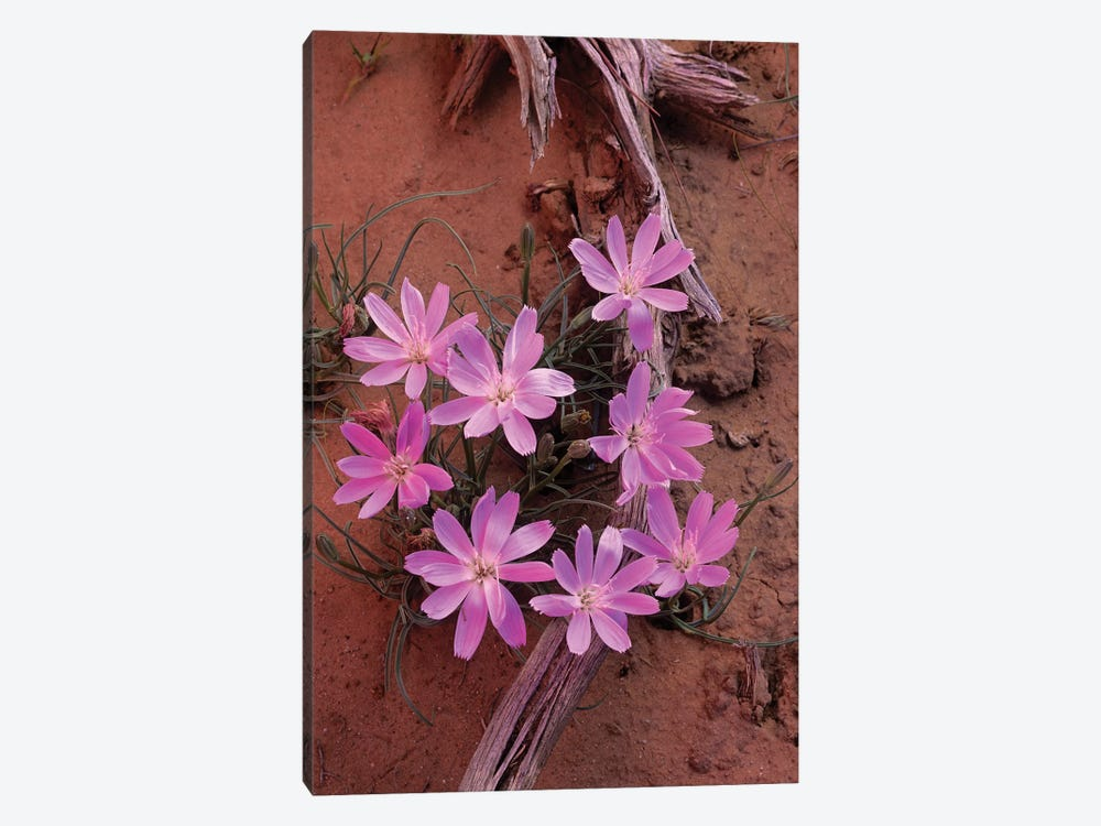 Desert Chicory Close Up Of Bloom, North America by Tim Fitzharris 1-piece Canvas Art Print