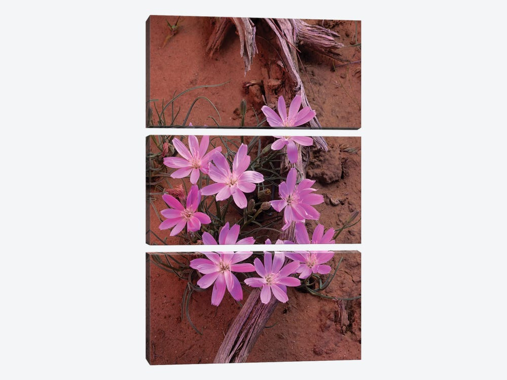 Desert Chicory Close Up Of Bloom, North America by Tim Fitzharris 3-piece Canvas Print