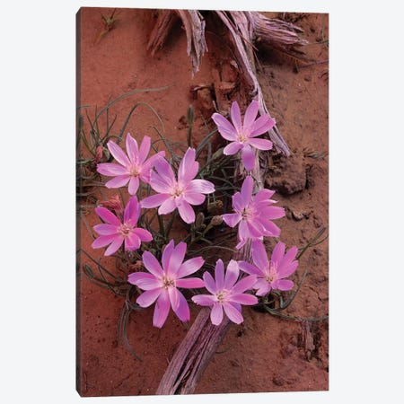 Desert Chicory Close Up Of Bloom, North America Canvas Print #TFI303} by Tim Fitzharris Canvas Print