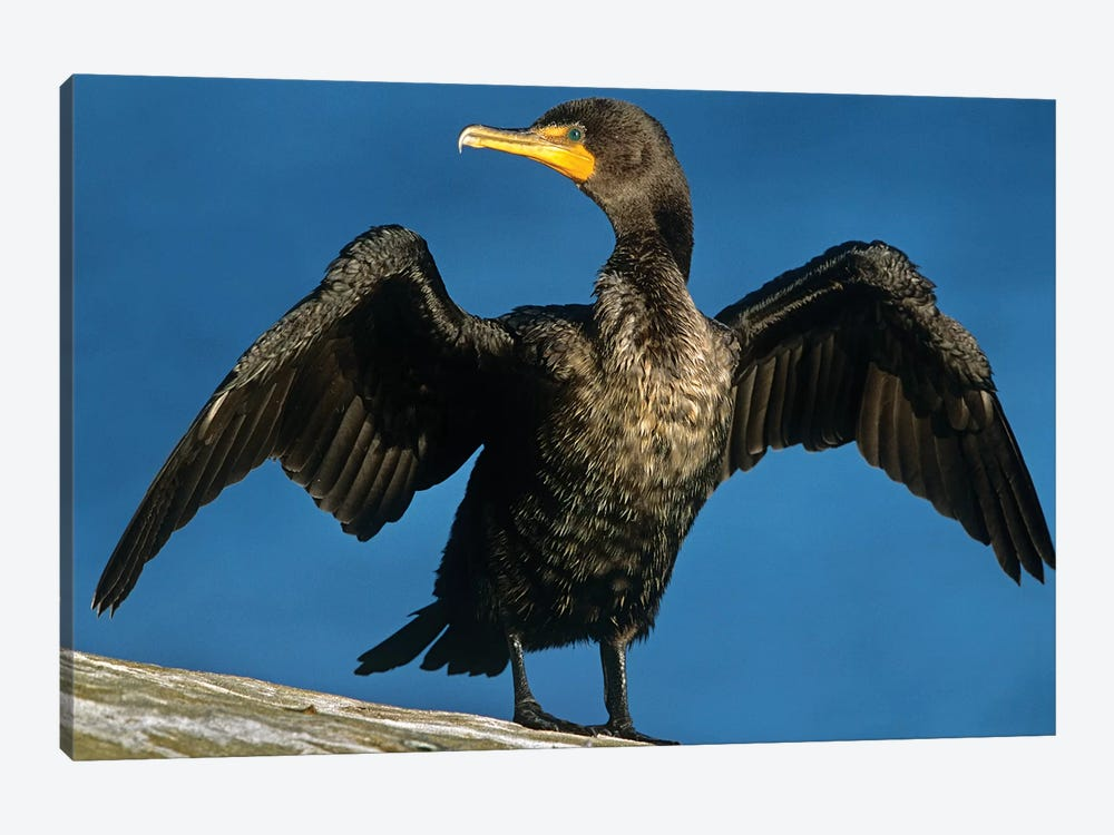 Double-Crested Cormorant Drying Its Wings, North America by Tim Fitzharris 1-piece Canvas Art