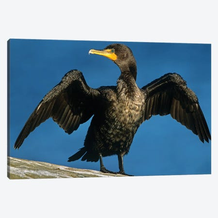 Double-Crested Cormorant Drying Its Wings, North America Canvas Print #TFI313} by Tim Fitzharris Canvas Art