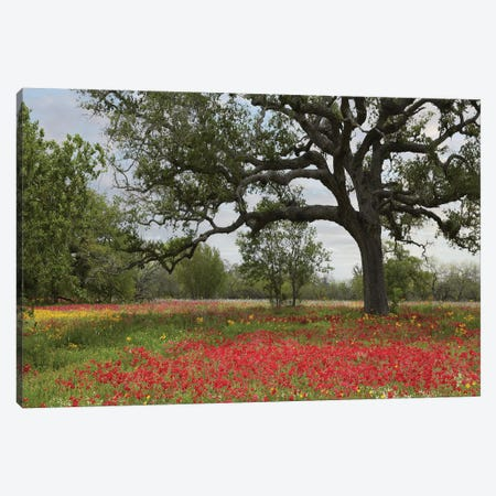 Drummond's Phlox Meadow Near Leming, Texas Canvas Print #TFI315} by Tim Fitzharris Art Print