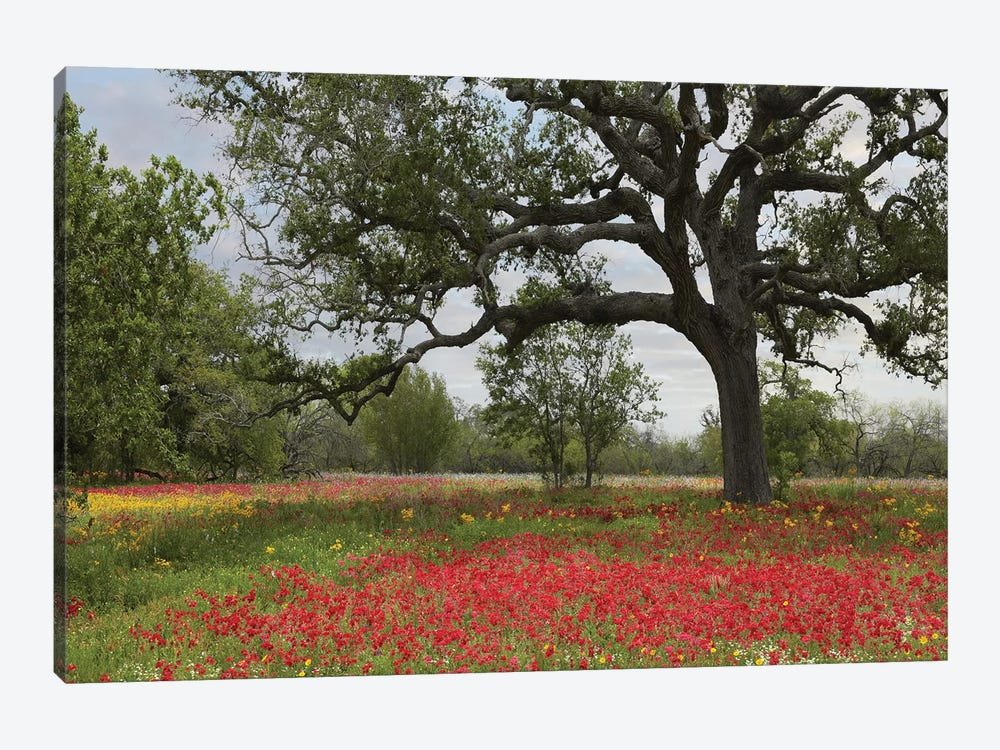 Drummond's Phlox Meadow Near Leming, Texas by Tim Fitzharris 1-piece Canvas Wall Art