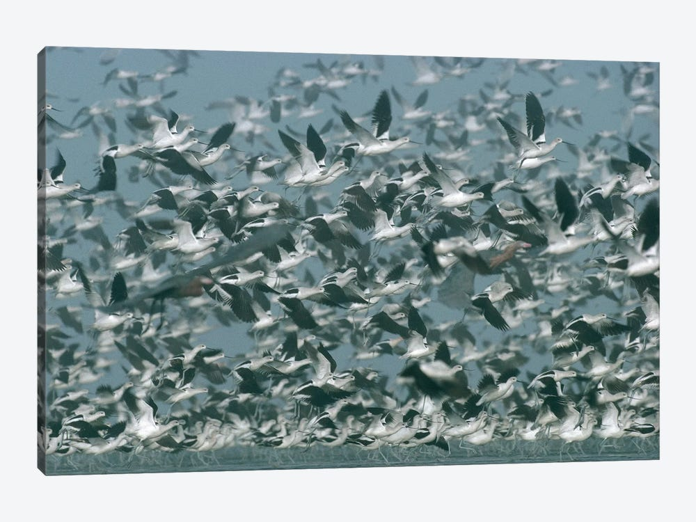 American Avocet Flock Erupting Into Flight, North America by Tim Fitzharris 1-piece Canvas Wall Art