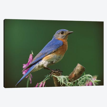 Eastern Bluebird Male, Ontario, Canada Canvas Print #TFI328} by Tim Fitzharris Art Print