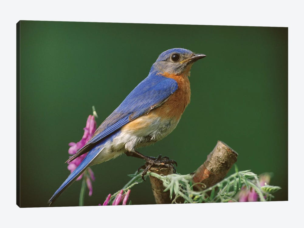 Eastern Bluebird Male, Ontario, Canada by Tim Fitzharris 1-piece Canvas Art