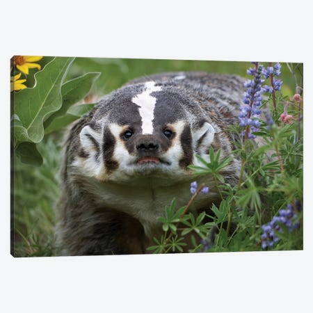 American Badger Amid Lupine, North America Canvas Print #TFI32} by Tim Fitzharris Canvas Art Print
